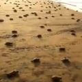some adorable tiny turtles running back to the ocean