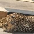 Leopard on Katedan road