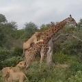 Viral Vidoe Shows Giraffee Saver His Life with Patience