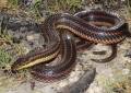 US witnesses rare Rainbow Snake after 51 years