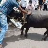 Buffalo Brought To Protest Site Goes On The Rampage