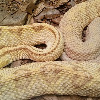 missing python found in shopping mall