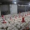India registered first Bird Flu Death