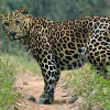 Leopard attacked couple while going to singarikona