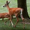 Deer tested corona positive in Ohio