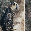 Scientists Unravel Mystery Behind Odishas Rare Endemic Black Tigers