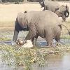 Elephant Kills Crocodile In Water