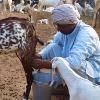 Goat Milk Price Raised 10 fold suddenly