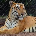 Tiger dies in Hyderabad zoo