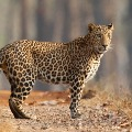 Leopard attacked pigs in Mahanandi Temple