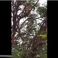 Monkeys taken corona samples and climbed a tree