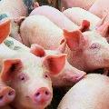 China says no harm with Swine Flu latest version