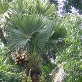 Telangana government shows interest on short Palmyra trees