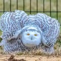 Snowy Owl Spotted In New Yorks Central Park For The First Time In Over A Century