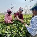 Priyanka Gandhi Plucks Tea Leaves Along with workers in Assom