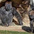 San Diego Zoo apes get an experimental animal vaccine against coronavirus