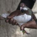 FIR against pigeon caught carrying suspicious white paper near Pakistan border