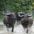 Wild Buffaloes coming out from forest in east godavari district