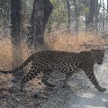Leopard wandering in the suburban colonies of Tirupati
