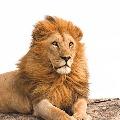 Lion in Tamil Nadu dies with Corona