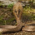 Snakes in Krishna District