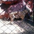 Tiger in Tirupati Agriculture College