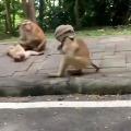 Monkey wears a towel like a mask