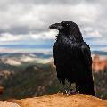 Bird flu virus detected in dead crows in Indore