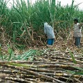 Maha government decides to send sugarcane workers home
