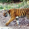 Tigers in Madhya Pradesh kills three
