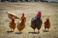 Center clarifies no Corona Virus contamination via chicken
