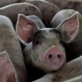 African Swine Flu in Assam