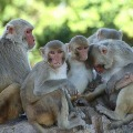 World Hope on Rhesus Monkeys