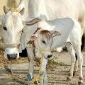 Cows are sick in Konadapalli village Krishna dist
