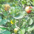 Apple Crop in Telangana